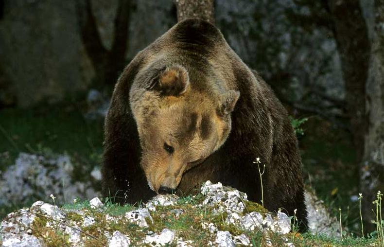 orso bruno marsicano